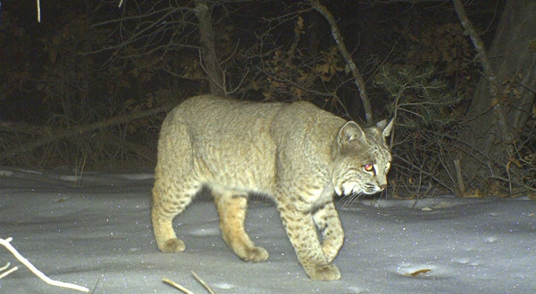 Bobcats and Mountain Lions