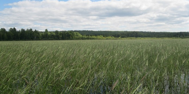 Wild Rice Making a Comeback on the Banks of the Fox River