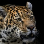 Wild jaguar on the endangered species list. Photo courtesy of outsideonline.com