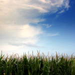 """Corn under blue skies. """"Corn Field"""" by Theophilos Papadopoulos is licensed under CC BY 2.0."""