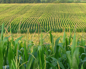 "Rows of corn stretch across the land. ""Corn Field"" by fishhawk is licensed under CC BY 2.0."