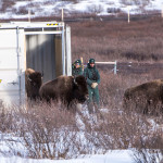 Bison being released in Banff National Park in Canada. Photo courtesy of ibtimes.co.uk.