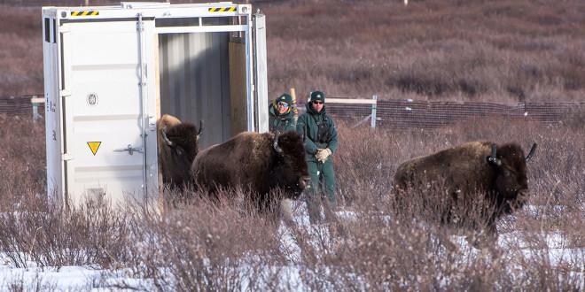 Bison Back in Canada's Banff National Park