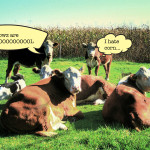 Wisconsin cows expressing their opinions. Photo by KULCOWS