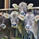 Jersey cows are one of the most popular dairy breeds. Photo from pexels.com.