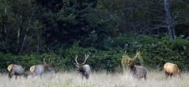 Elk Released Near Clam Lake Wisconsin