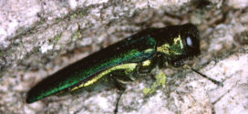 Marathon County Under Quarantine After Emerald Ash Borer Found at Rib Mountain